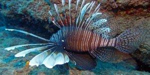İstilacı zehirli balık tehlikesi büyüyor
