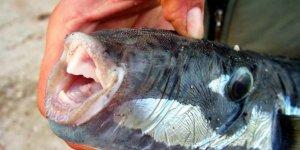 Balon balığının dişleri, dolgu ve kaplamada kullanılacak