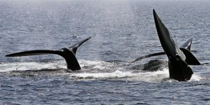 Kuzey Atlantik balinaları yok olmak üzere