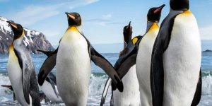 Kral penguenlere küresel ısınma tehdidi