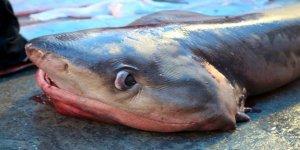 Bir haftada üçüncü köpek balığı yakalandı