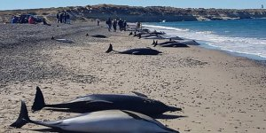 Arjantin'de yunuslar karaya vurdu, 49'u öldü