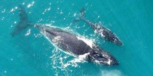 Balinalar bu yıl hiç doğum yapmadı!
