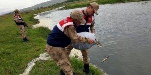 Kaçak avlanan 400 kilo inci kefali dereye bırakıldı