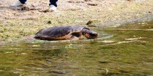 Yaralanan deniz kaplumbağaları en az 2 yılda iyileşiyor
