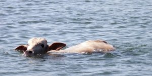 Firari danalar denizde yakalandı