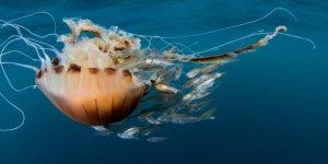 Akdeniz için zehirli denizanası uyarısı
