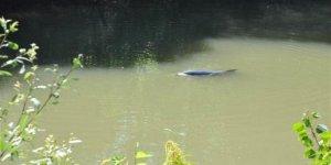 Irmağa giren yunusu kurtarma çabaları sürüyor