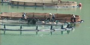 Giresun'da baraj göllerinde balık üretimi yaygınlaşıyor