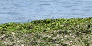 Plajlardaki yosuna karşı bariyerli önlem