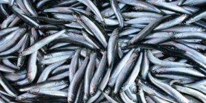 Egeli balıkçıların ağları sardalya ile doldu