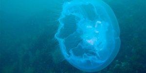 Devasa denizanası kıyıya vurdu
