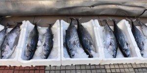 Torik balıklarının tanesi 125 liraya satılıyor