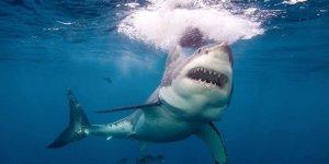 Pasifik'te 'Beyaz Köpek Balığı Cafe'si bulundu