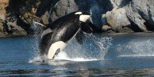Katil balinalar, ciddi bir tehditle karşı karşıya