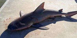 Tekneye atlayan köpek balığı korkuttu