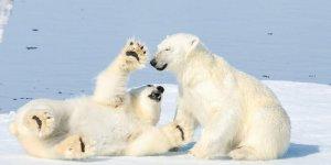 Kutup ayısı devriyeleri kurulmaya başlandı