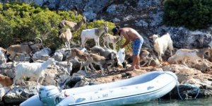 Aşırlı Adası'nın tek sahipleri keçiler