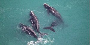 Balinalar artık uzaydan takip edilecek