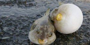 Balon balıkları ekonomiye kazandırılacak
