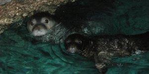 Akdeniz fokları için kritik dönem