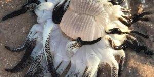 Avustralya'da onlarca kolu olan deniz canlısı bulundu