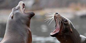 Aç kalan denizaslanları balık çiftliğine saldırdı