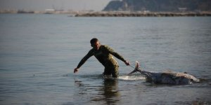 Marmara'da ölü orkinoslar karaya vurdu