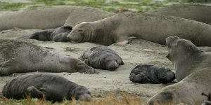 100 fok yavrusu çalındı
