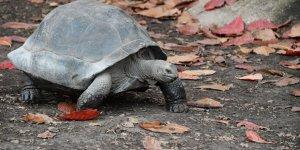 Nesli tükendiği sanılan kaplumbağaya rastlandı