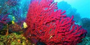 Kırmızı mercanlar için harekete geçtiler