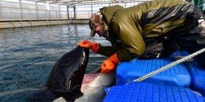 Rusya'da 98 orka ve beluga serbest kalacak
