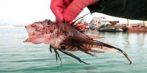 Akdeniz kıyılarında zehirli aslan balığı tehlikesi