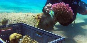 İsrail Eylat açıklarındaki  mercanları taşıyor