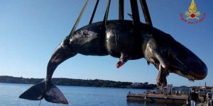 Hamile balinayı da plastik öldürdü