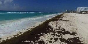 Meksika'da 'Sargassum' yosunu alarmı