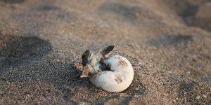 Akyatan yeşil deniz kaplumbağalarını ağırlayacak