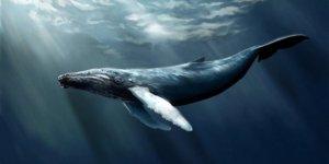 Rusya balinaları serbest bırakmaya başladı