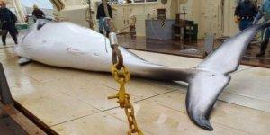 Japonya yeniden ticari balina avına başladı
