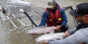Mahsur kalan somon balıkları kurtarılıyor