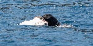 Akdeniz foku vatoz balığı yerken görüntülendi