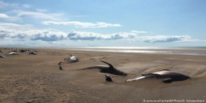 İzlanda'da 50 balina kıyıya vurdu