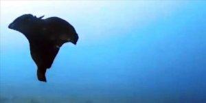 Gökçeada'da deniz tavşanı görüntülendi