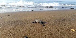 Yavru carettalar denizle buluşmaya başladı