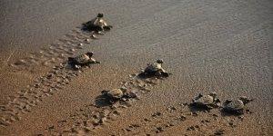 Belek'te 60 bin caretta yavrusu denizle buluştu