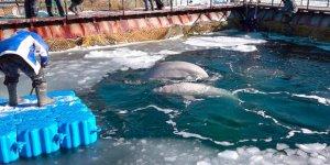 Rusya 50 beyaz balinayı serbest bırakacak