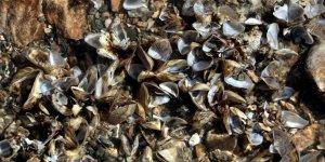 Van Gölü için 'zebra midye' tehlikesi