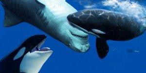 Bilim İnsanları İklim Konusunda Balina Etkisine Dikkat Çekiyor