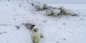 Rusya'da kutup ayıları köylere indi
