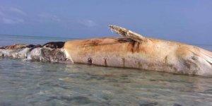 Deniz mayını dev balinayı telef etti